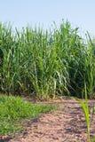 Sugar-cane Imagens de Stock Royalty Free