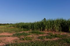 Sugar-cane Royalty Free Stock Photo