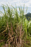 Sugar cane Royalty Free Stock Photography