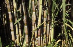 Sugar cane Royalty Free Stock Photo
