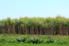 Sugar-cane. Plant at field - Saccharum officinarum Stock Photography