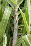 Sugar cane. Is growing sugar cane fields Royalty Free Stock Photo