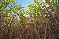 Sugar cane. Green sugar cane leaves blades over blue sky royalty free stock photo