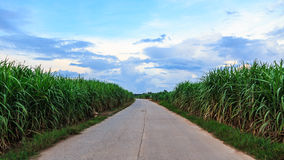 Sugar Cane Photos stock