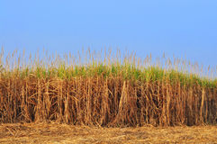 Sugar Cane Photo stock