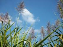 Sugar Cane Royalty-vrije Stock Fotografie