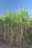 Sugar cane. A sugar cane plantation on the farm Royalty Free Stock Photography