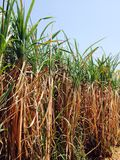 Sugar Cane Royalty-vrije Stock Afbeelding