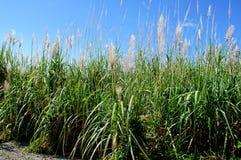 Sugar Cane Imágenes de archivo libres de regalías