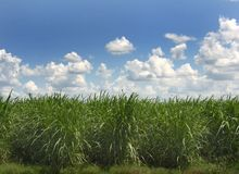 Sugar Cane. Growing in a field in south Louisiana.  is used to produce sugar, Falernum, molasses, rum, soda, cachaça and ethanol for fuel stock photography