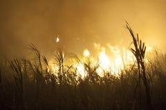 Sugar Cane imagem de stock