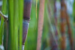 Sugar Cane Image libre de droits