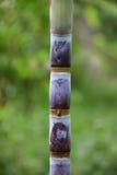 Sugar Cane Immagini Stock Libere da Diritti