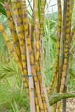 Sugar Cane Lizenzfreies Stockbild