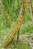 Sugar Cane Stockfoto