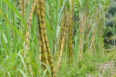 Sugar Cane Lizenzfreie Stockfotos