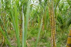Sugar Cane Lizenzfreie Stockfotografie