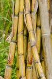 Sugar Cane Lizenzfreies Stockfoto