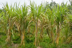 Sugar Cane Fotografie Stock Libere da Diritti