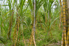 Sugar Cane Stockfotos