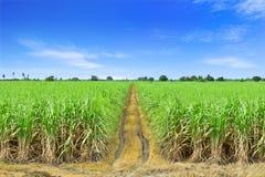 Sugar Cane Royaltyfria Bilder