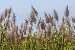 Sugar Cane Imagenes de archivo