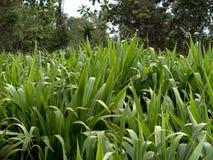 Sugar Cane royaltyfri bild