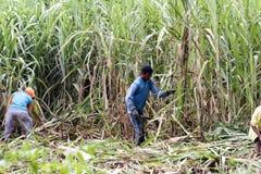 Sugar Cane Fotografia Stock