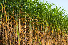 Sugar Cane Photo libre de droits