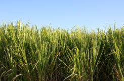 Sugar Cane. Green sugar cane leaves blades over blue sky Stock Images