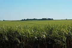Sugar Cane Arkivfoto