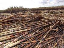 Sugar Cane Fotografia Stock Libera da Diritti