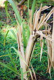 Sugar Cane Images stock