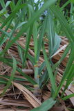 Sugar cane. Baby sugar cane farmland in Thailand Stock Photo