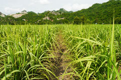 Sugar cane Royalty Free Stock Images