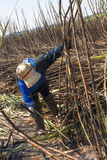 Sugar cane Stock Photography