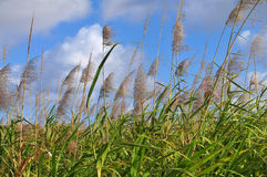 Sugar cane blooms. Sugar cane blossoms on Mauritius island with blue sky and white clouds in background stock images