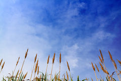 Sugar cane with blue sky. Blue sky with some clouds over a Sugar Cane field Royalty Free Stock Photography