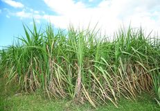 Sugar cane with blue sky in backgroun Royalty Free Stock Image