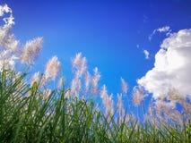 Sugar-cane on blue sky Stock Photos