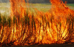 Sugar cane burning Royalty Free Stock Image