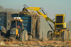 Sugar cane crop. A sugar cane crop with tractor in the field stock images