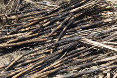 Sugar Cane Crop Cut Black Stock Photos