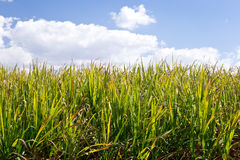 Sugar Cane crop in field ready for harvest - green field with bl Stock Photography