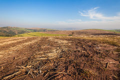 Sugar-Cane Crop Harvested Farming Stock Image