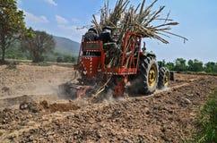 Sugar cane cultivate. In farm stock photos