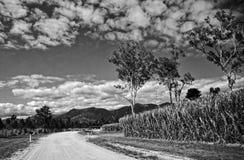 Sugar Cane drev Arkivfoton
