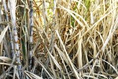 Sugar cane and dry leaf, sugar cane plantation, sugarcane farm, sugarcane agriculture farm, sugar cane tree and leaves dry. The sugar cane and dry leaf, sugar stock photo