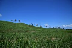 Sugar Cane fält och kokospalmer Fotografering för Bildbyråer