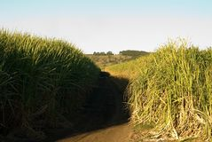 Sugar Cane Farm Stock Images